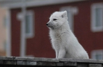 A polar fox in an abandoned city in Svalbard