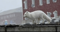A polar fox on the run in Pyramiden Svalbard