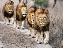 A pride no wait A Team of Lions