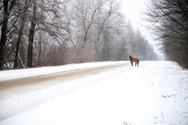A Przewalskis horse crosses a road in the Chernobyl Exclusion Zone in January
