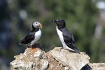 A puffin and a razorbill on the north-east coast of England