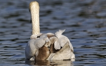 A quintet of baby swans huddled together on their mothers back as they cross a lake in Bushy Park London England Photo by Mike Lane