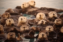 A raft of otters Enhydra lutris -
