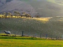 A ram and his ewes Coastal Otago NZ