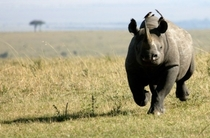 A Rare Picture of Angry Black Rhino