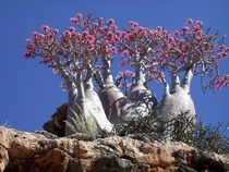 A rare species of a Desert Rose growing on Socotra Island Yemen