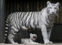 A rare white Indian tiger cub Panthera tigris tigris with his mother  Liberec Zoo Czech Republic