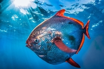 A rarely-seen opah or moonfish photographed near San Clemente Island off the southern California coast by Ralph Pace