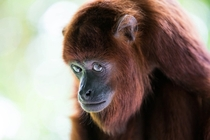 A rather sheepish looking Red Howler Monkey