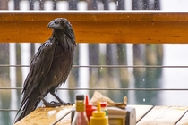A raven patiently waiting to be served its lunch