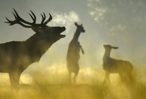A red deer stag with females seen behind barks in the morning sun in Richmond Park in west London England The Royal Park has had red and fallow deer present since  Toby Melville