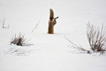 A red fox attacking a mouse hidden under  feet of snow