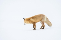 A red fox in Hokkaido Japan Went there to go backcountry skiing but on the day I decided not to ski I encountered a pair of red foxes hunting Every bit as fun as the ski days