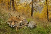 A red fox lies in wait camouflaged in the autumn woods in Italys Gran Paridiso National Park Stefano Unterthiner