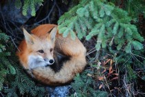 A red fox near Yellowknife Northwest Territories Canada