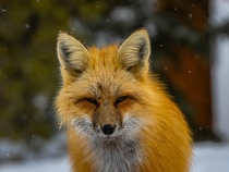 A red fox Vulpes vulpes staring me down in Breckenridge Colorado