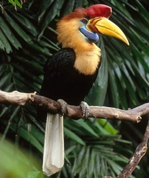 A red-knobbed Hornbill