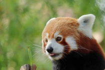 A Red Panda and a Leaf