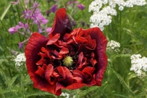 A red poppy papaver somniferum in an Alaska garden