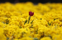 A red tulip surrounded by yellow flowers in a park in London