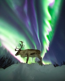 A Reindeer and A Huge Auroral Corona