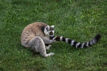 A ring-tailed lemur sniffs his tail