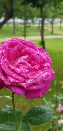 A rose damascena with rain drops I wish you could smell it