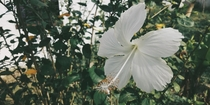 A Rose mallow Hibiscus rosa-sinensis