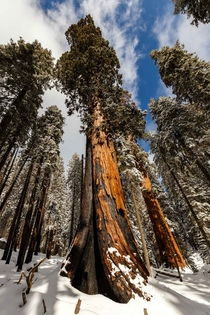 A scarred giant Sequoia National Park CA