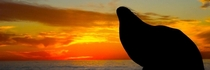 A sea lion rests with his head arched back during sunset at La Jolla Cove San Diego
