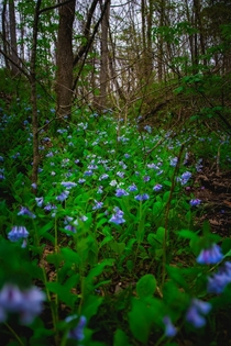 A sea of bluebells in a secret cove in the Ozarks  x