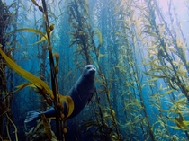 a seal in a kelp forest