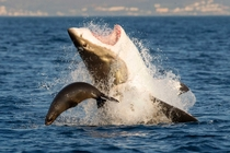 A seal narrowly escapes an attack from a Great White shark Carcharodon carcharias David Baz Jenkins
