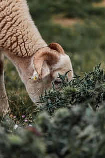 A sheep having dinner