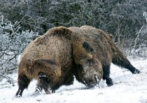 A showcase of brute strength Two big wild boars fighting over mating rights during rutting season