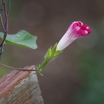 A shy Morning Glory