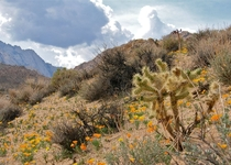 A Silver Cholla glowing in the foothills of the Eastern Sierras amongst California poppies and sagebrush chaparralOpuntia echinocarpa