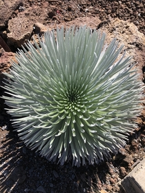 A silversword I saw yesterday near the crater of Haleakal a volcano in Maui Elevation  ft So excited to see this rare plant