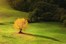 A single tree affected by the fall Tuscany Italy