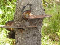 A skate my grandpa left in a tree in the s at his old family farm in northern Canada