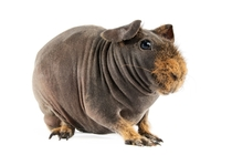 A Skinny Pig a near hairless breed of Guinea Pig