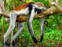 a sleeping Zanzibar Red Colobus