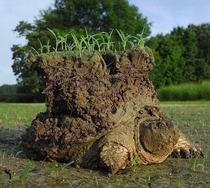 A snapping turtle just after emerging from hibernating buried in the mud This is where the Native American legends of the Earth being brought into existence and carried on the shell of a turtle originated from