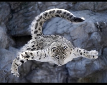 A snow leopard in Japan jumping Pc sparklinganimals