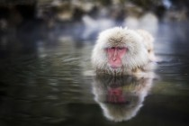 A snow monkey swims slowly across a geothermal pool in Nagano Japan