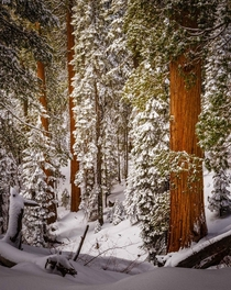 A snowy dreamscape in Sequoia
