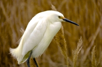 A Snowy Egret Egretta thula in its breeding plumage Bombay Hook Delaware