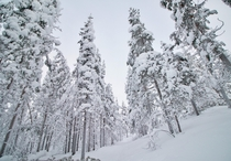 A snowy forest in Lapland - Enonteki Finland