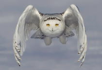 A snowy owl glides inches above a snowplain in a hunt for food Just outside of Ottawa Ontario Canada Photo by Rick DobsonSolent News