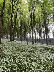 A soothing sea of wild garlic and bluebells in a forest near my home Wales  x